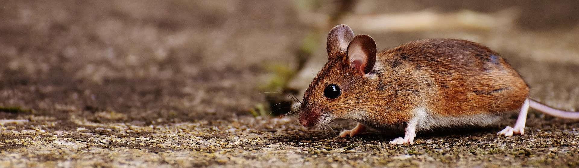 עכבר שעומד על אדמה