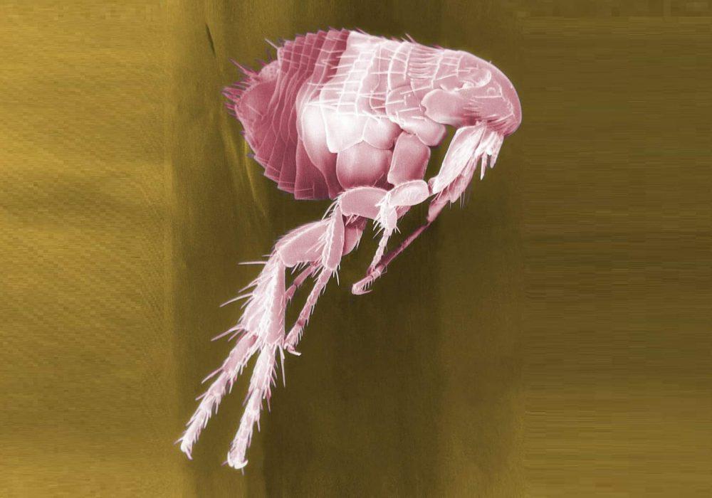 flea-63043_1280